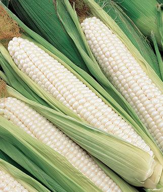 Corn, Silver Choice Hybrid 1 Pkt. (200 seeds) Corn Seeds, Corn Seed, Seed Corn, Corn, Sweet Corn Seeds, Super Sweet Corn Seeds, Garden Seeds
