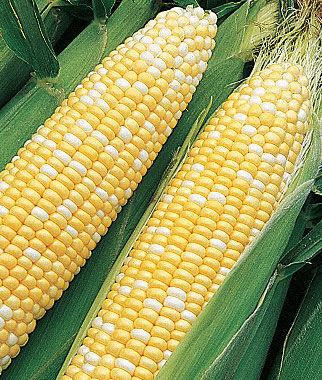 Corn, Sun & Stars Bicolor Hybrid 1 Pkt. (200 seeds) Corn Seeds, Corn Seed, Seed Corn, Corn, Sweet Corn Seeds, Super Sweet Corn Seeds, Garden Seeds