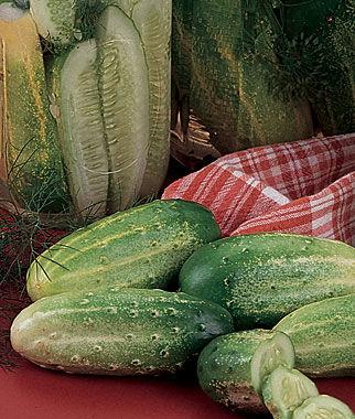 Cucumber, Burpee Pickler Hybrid 1 Pkt. (100 seeds)