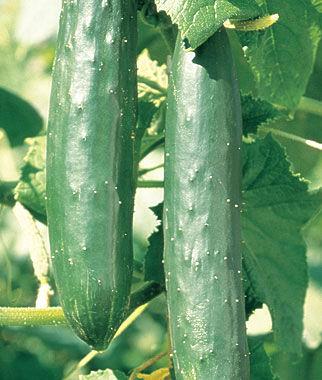 Cucumber, Green Knight Hybrid 1 Pkt. (30 seeds)