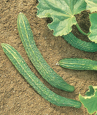 Cucumber, Palace King Hybrid 1 Pkt. (30 seeds)