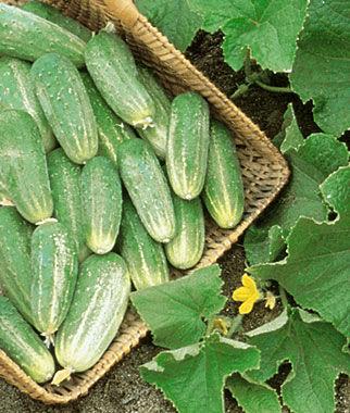 Cucumber, Picklebush 1 Pkt. (30 seeds)