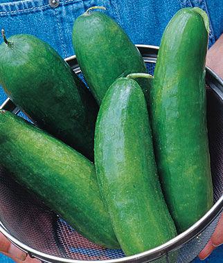 Cucumber, Sugar Crunch Hybrid 1 Pkt. (30 seeds)
