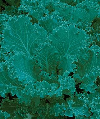 Kale, Dwarf Blue Curled Vates 1 Pkt. (1000 seeds) Kale Seeds, Kale Seed, Kale, Garden Kale, Brassica Seeds, Garden Seeds, Vegetable Seeds
