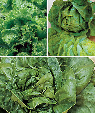 Lettuce, Summer-Long Collection 3 Pkts (1 of Each) Lettuce Seed, Lettuce Seeds, Salad Greens, Lettuce, Lettuce Mix, Mesclun, Garden Seeds, Salad Seeds