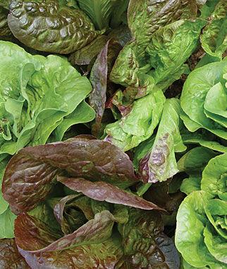 Lettuce, Bibb Blend 1 Pkt. (500 seeds) Lettuce Seed, Lettuce Seeds, Salad Greens, Lettuce, Lettuce Mix, Mesclun, Garden Seeds, Salad Seeds