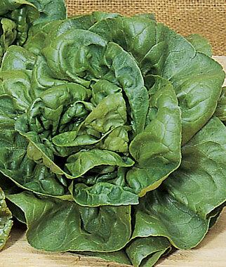 Lettuce, Burpee Bibb 1 Pkt. (1000 seeds) Lettuce Seed, Lettuce Seeds, Salad Greens, Lettuce, Lettuce Mix, Mesclun, Garden Seeds, Salad Seeds