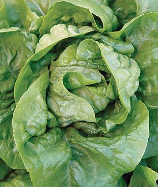 Lettuce, Buttercrunch Organic 1 Pkt. (1100 seeds) Lettuce Seed, Lettuce Seeds, Salad Greens, Lettuce, Lettuce Mix, Mesclun, Garden Seeds, Salad Seeds