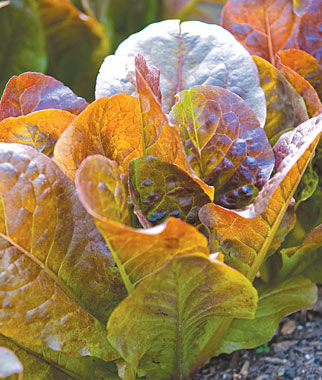 Lettuce, Four Seasons Organic 1 Pkt. (900 seeds) Lettuce Seed, Lettuce Seeds, Salad Greens, Lettuce, Lettuce Mix, Mesclun, Garden Seeds, Salad Seeds