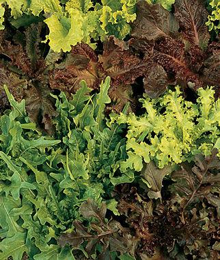 Lettuce, Gourmet Blend 1 Pkt. (500 seeds) Lettuce Seed, Lettuce Seeds, Salad Greens, Lettuce, Lettuce Mix, Mesclun, Garden Seeds, Salad Seeds