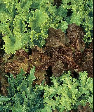 Lettuce, Gourmet Blend Organic 1 Pkt. (750 seeds) Lettuce Seed, Lettuce Seeds, Salad Greens, Lettuce, Lettuce Mix, Mesclun, Garden Seeds, Salad Seeds