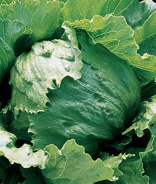 Lettuce, Iceberg A 1 Pkt. (750 seeds) Lettuce Seed, Lettuce Seeds, Salad Greens, Lettuce, Lettuce Mix, Mesclun, Garden Seeds, Salad Seeds