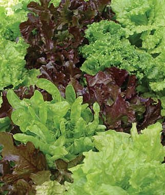Lettuce, Looseleaf Blend 1 Pkt. (700 seeds) Lettuce Seed, Lettuce Seeds, Salad Greens, Lettuce, Lettuce Mix, Mesclun, Garden Seeds, Salad Seeds