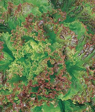 Lettuce, Prizeleaf 1 Pkt. (500 seeds) Lettuce Seed, Lettuce Seeds, Salad Greens, Lettuce, Lettuce Mix, Mesclun, Garden Seeds, Salad Seeds