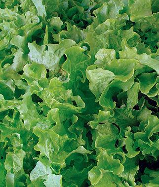 Lettuce, Salad Bowl (Leaf) 1 Pkt. (750 seeds) Lettuce Seed, Lettuce Seeds, Salad Greens, Lettuce, Lettuce Mix, Mesclun, Garden Seeds, Salad Seeds