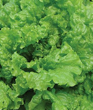 Lettuce, Simpson Elite 1 Pkt. (700 seeds) Lettuce Seed, Lettuce Seeds, Salad Greens, Lettuce, Lettuce Mix, Mesclun, Garden Seeds, Salad Seeds