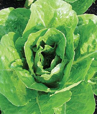 Lettuce, Vivian 1 Pkt. (500 seeds) Lettuce Seed, Lettuce Seeds, Salad Greens, Lettuce, Lettuce Mix, Mesclun, Garden Seeds, Salad Seeds