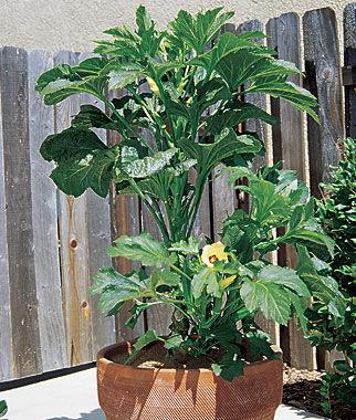 Okra, Baby Bubba Hybrid 1 Pkt. (35 seeds) Orka, Okra Seeds, Okra Seed, Seeds, Okra Plants, Vegetable Seeds, Vegetable Plants, Garden Seeds