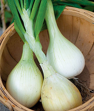 Onion, Exhibition 150 plants Onion Seeds, Onion Sets, Onion Plants, Scallion Seeds, Bunching Onions, Green Onions, Garden Seeds