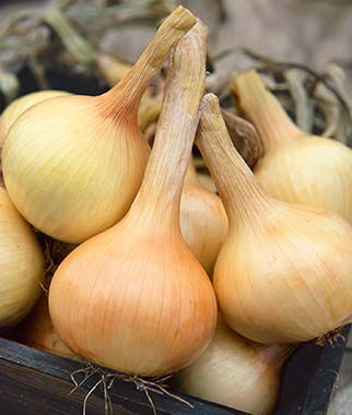 Onion, Walla Walla Sweet 2 bunches (150 plants) Onion Seeds, Onion Sets, Onion Plants, Scallion Seeds, Bunching Onions, Green Onions, Garden Seeds