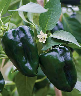 Pepper, Hot, Poblano (Ancho) 1 Pkt. (100 seeds) Hot Pepper Seeds, Chili Pepper Seeds, Chili Seeds, Pepper Seeds, Peppers, Chilis, Garden Seeds, Seed