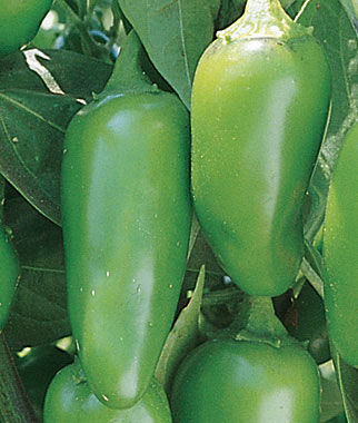 Pepper, Hot Jalapeno Early Organic 1 Pkt. (125 seeds) Hot Pepper Seeds, Chili Pepper Seeds, Chili Seeds, Pepper Seeds, Peppers, Chilis, Garden Seeds, Seed