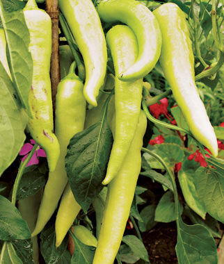 Pepper, Sweet Bananarama 1 Pkt. (30 seeds) Pepper Seeds, Sweet Pepper Seeds, Stuffing Peppers, Bell Peppers, Sweet Peppers, Bell Pepper Seeds