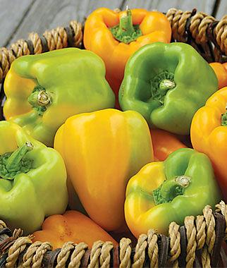 Pepper, Sweet, Flavorburst Hybrid 1 Pkt. (20 seeds) Pepper Seeds, Sweet Pepper Seeds, Stuffing Peppers, Bell Peppers, Sweet Peppers, Bell Pepper Seeds