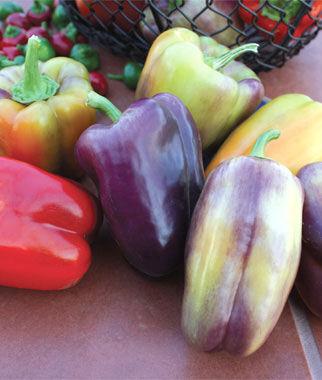 Pepper, Sweet, Pinot Noir 1 Pkt. (30 seeds) Pepper Seeds, Sweet Pepper Seeds, Stuffing Peppers, Bell Peppers, Sweet Peppers, Bell Pepper Seeds