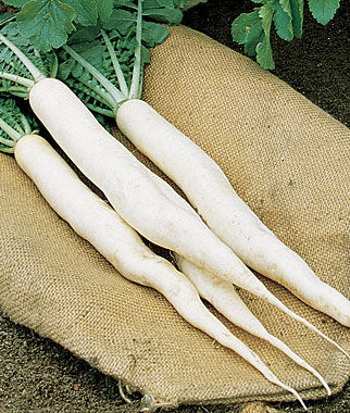 Radish, Summer Cross Hybrid 1 Pkt. (100 seeds) Radish, Radish Seeds, Seeds, Vegetable Seeds, Garden Seeds, Vegetable, Garden