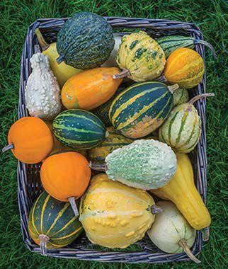 Gourd Ornamental Small Fancy Mix 1 Pkt. (25 seeds) Gourd Seeds, Ornamental Gourd Seeds, Gourds, Ornamental Gourds, Garden Seeds, Vegetable Seeds