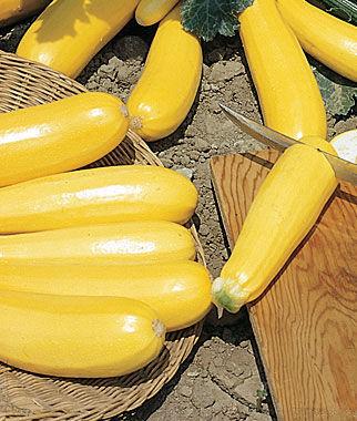 Squash, Summer, Burpee Golden Zucchini 1 Pkt. (25 seeds) Zucchini Seeds, Zucchini Seed, Summer Squash, Squash, Zucchini Squash, Garden Seeds, Vegetable Seeds