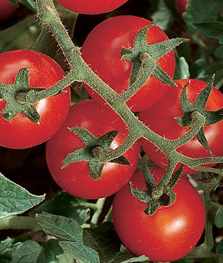 Tomato, Chadwick Cherry Organic 1 Pkt. (40 seeds) Cherry Tomato Seeds, Currant Tomato Seeds, Grape Tomato Seeds, Cherry Tomato, Tomato Seeds