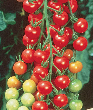 Tomato, Super Sweet 100 Hybrid 1 Pkt. (40 seeds) Cherry Tomato Seeds, Currant Tomato Seeds, Grape Tomato Seeds, Cherry Tomato, Tomato Seeds
