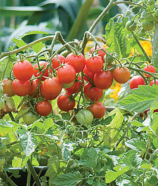 Tomato, Sweetheart Of The Patio 1 Pkt. (10 seeds) Cherry Tomato Seeds, Currant Tomato Seeds, Grape Tomato Seeds, Cherry Tomato, Tomato Seeds
