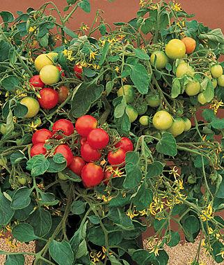 Tomato, Tumbler Hybrid 1 Pkt. (10 seeds) Cherry Tomato Seeds, Currant Tomato Seeds, Grape Tomato Seeds, Cherry Tomato, Tomato Seeds