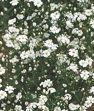 Baby's Breath, Covent Garden White 1 Pkt. (800 seeds) Annuals, Annual, Annual Flowers, Annual Flower Seeds, Seeds, Flower Seeds, Cottage Garden Flowers