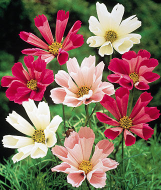 Cosmos, Seashells Mix 1 Pkt. (90 seeds) Annuals, Annual, Annual Flowers, Annual Flower Seeds, Seeds, Flower Seeds, Cottage Garden Flowers