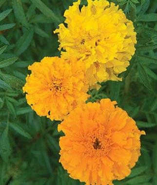Marigold, Sunset Giants Mix 1 Pkt. (150 seeds) Annuals, Annual, Annual Flowers, Annual Flower Seeds, Seeds, Flower Seeds, Cottage Garden Flowers