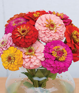 Zinnia, Oklahoma Mix 1 Pkt. (50 seeds) Annuals, Annual, Annual Flowers, Annual Flower Seeds, Seeds, Flower Seeds, Cottage Garden Flowers