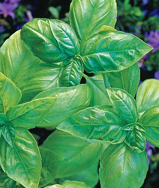 Basil, Plenty 1 Pkt. (100 seeds), Basil Seeds, Basil Plants, Basil Starts, Herb Seeds, Herb Plants, Garden Seed, Vegetable Seeds