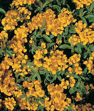 Sweet Marigold, Licorice 1 Pkt. (50 seeds) Annuals, Annual, Annual Flowers, Annual Flower Seeds, Seeds, Flower Seeds, Cottage Garden Flowers