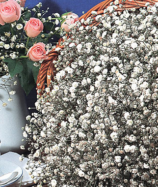 Baby's Breath, Early Snowball 1 Pkt. (200 seeds) Perennial, Perennial Flowers, Perennial Flower Seeds, Flower Seeds, Perennial Seeds, Flowers, Seeds
