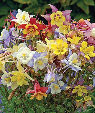 Columbine, Quetzal Mix 1 Pkt. (60 seeds) Perennial, Perennial Flowers, Perennial Flower Seeds, Flower Seeds, Perennial Seeds, Flowers, Seeds