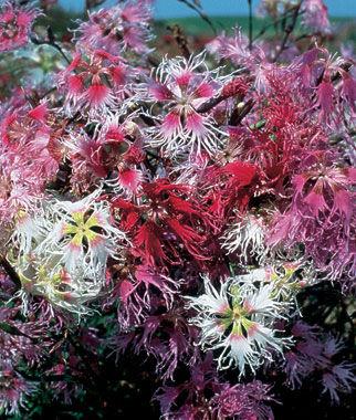 Dianthus, Rainbow Loveliness Mix 1 Pkt. (50 seeds) Perennial, Perennial Flowers, Perennial Flower Seeds, Flower Seeds, Perennial Seeds, Flowers, Seeds