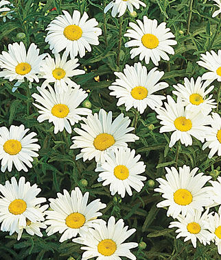 Shasta Daisy, Silver Princess 1 Pkt. (150 seeds) Perennial, Perennial Flowers, Perennial Flower Seeds, Flower Seeds, Perennial Seeds, Flowers, Seeds