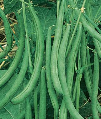 Bean, Contender Bush 1 Pkt. (3 oz.) Bean Seeds, Bush Beans, Beans - Bush, Bush Bean Seeds, Vegetable Seeds, Garden Seeds, Vegetable Seed