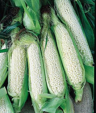 Corn, Country Gentleman 1 Pkt. (200 seeds) Corn Seeds, Corn Seed, Seed Corn, Corn, Sweet Corn Seeds, Super Sweet Corn Seeds, Garden Seeds