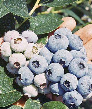 Blueberry, Spartan 1 Plant Blueberry Plants, Blueberries, Berry Plants, Fruit Plants, Fruit Garden, Berry Garden, Garden Plants