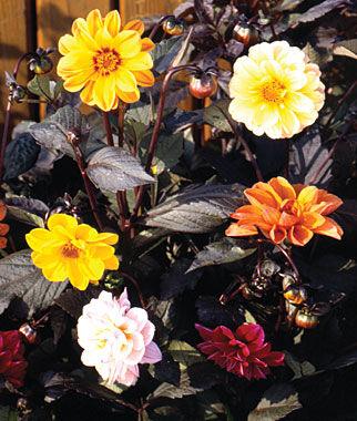 Dahlia, Redskin 1 Pkt. (50 seeds) Annuals, Annual, Annual Flowers, Annual Flower Seeds, Seeds, Flower Seeds, Cottage Garden Flowers